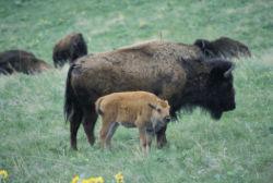 Le Bison. Bison_13