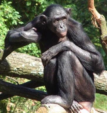 Primates en péril !!! Bonobo15