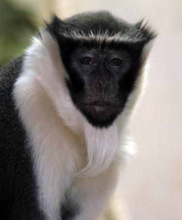 Primates en péril !!! Cercop10