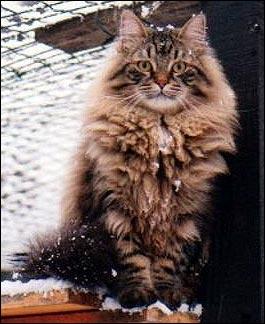 Le chat de Sibérie Chat_s10
