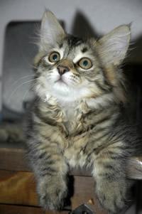 Le chat de Sibérie Chaton12