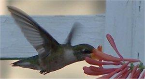 L'oiseau mouche ou Colibri Colibr10