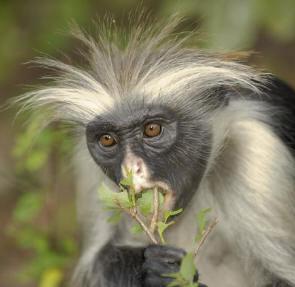 Primates en péril !!! Colobe10
