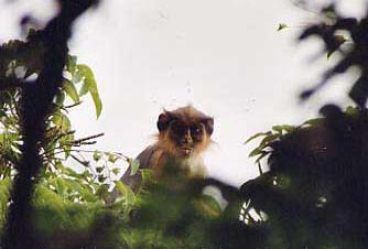 Primates en péril !!! Colobe11