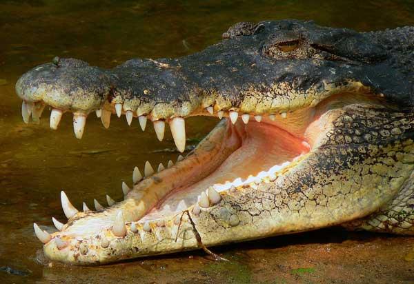 Le Crocodile du Nil Crocod10