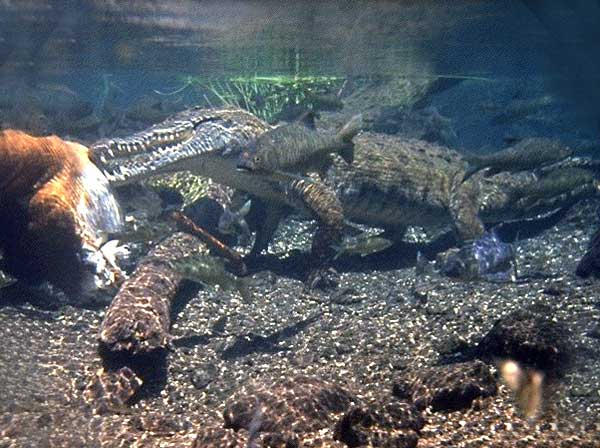 Le Crocodile du Nil Crocod11