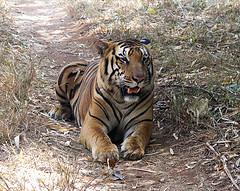 Les tigres de Bengale ne sont plus que 1400 individus ! Des-ti10