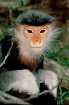 Primates en péril !!! Douc210