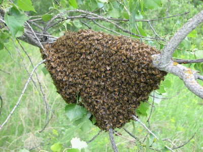Insectes : plus sociaux que nous ! Essaim10