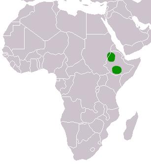Le Loup d'Abyssinie Ethiop10