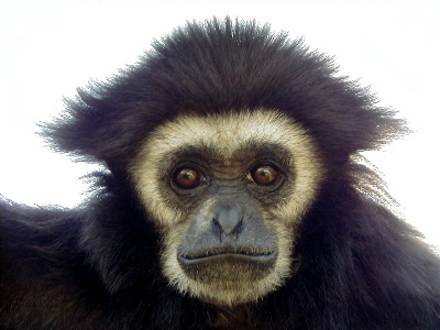 Primates en péril !!! Gibbon10