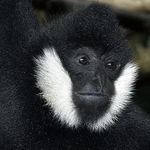 Primates en péril !!! Gibbon11