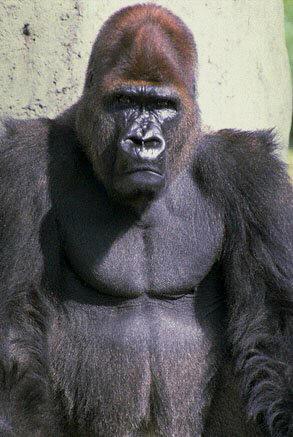 Primates en péril !!! Gorill11