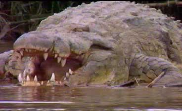 Le Crocodile du Nil Gustav10