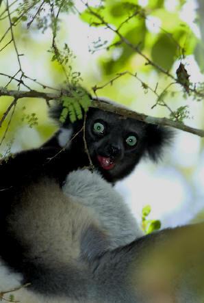 Primates en péril !!! Indri10