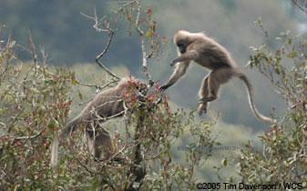 Primates en péril !!! Kipunj10