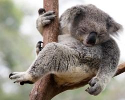 Incroyables ! - Page 3 Koala_11