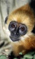 Primates en péril !!! Langur10