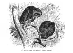 Primates en péril !!! Loris10