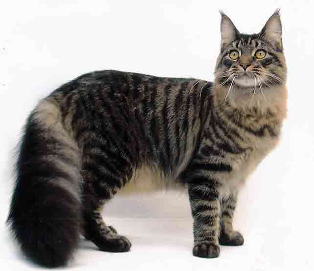 Le Maine Coon Main_c10