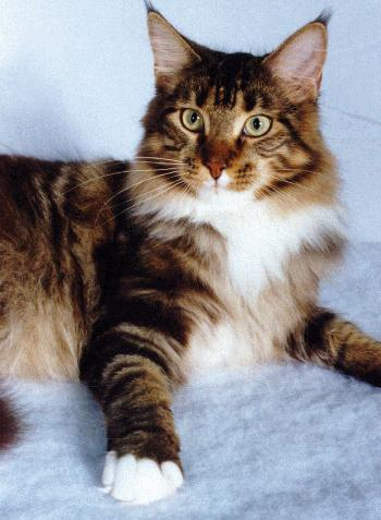 Le Maine Coon Main_c11