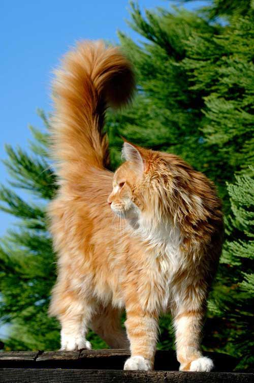 Le Maine Coon Main_c13