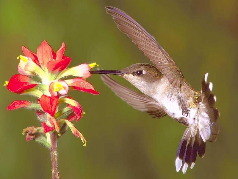 L'oiseau mouche ou Colibri Oiseau10