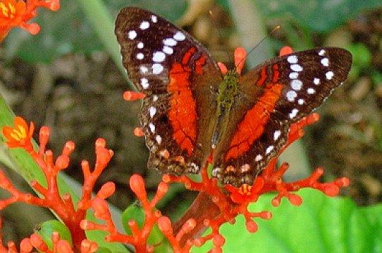 Le mimétisme et Camouflage chez les Animaux. Papill11