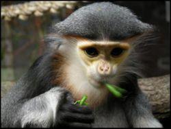Primates en péril !!! Rhinop10