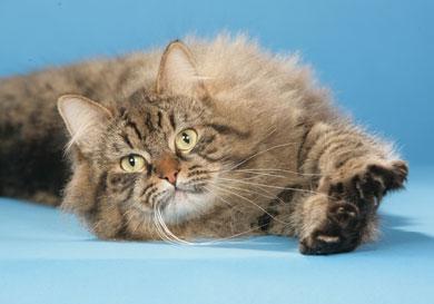 Le chat de Sibérie Siberi10