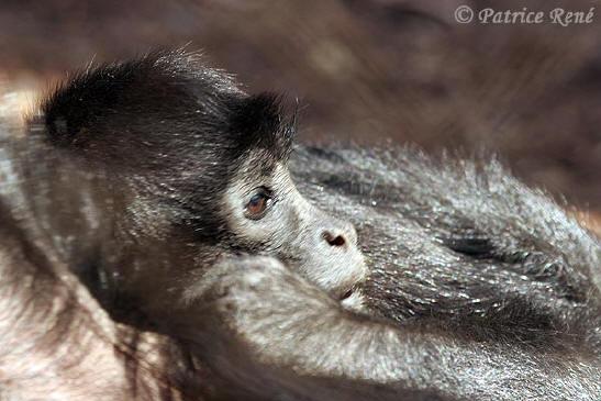 Primates en péril !!! Singea10