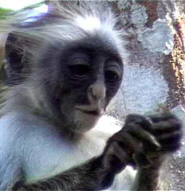 Primates en péril !!! Singec10