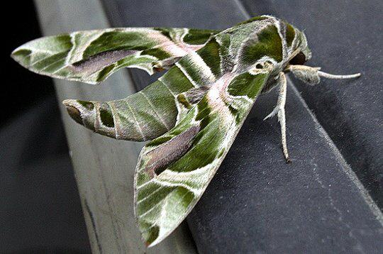 Le mimétisme et Camouflage chez les Animaux. Spinx_10
