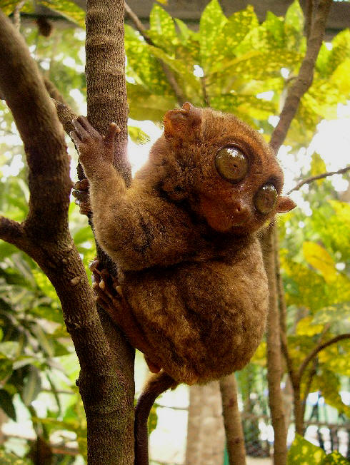 Primates en péril !!! Tarsie10