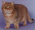 Le Top 10 des chats de race en France. Britis10