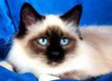 Le Top 10 des chats de race en France. Chat-b10