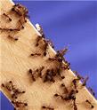 Insectes : plus sociaux que nous ! Fourmi11