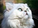 Le Top 10 des chats de race en France. Le_per10