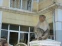 La planète des singes n'est plus une fiction Macaqu10