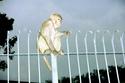 La planète des singes n'est plus une fiction Macaqu11