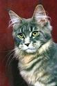 Le Top 10 des chats de race en France. Maine_10