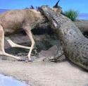 Le Crocodile du Nil Nile_c10
