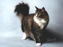 Le Top 10 des chats de race en France. Norveg10