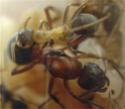 Insectes : plus sociaux que nous ! Reine-10