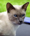 Le Top 10 des chats de race en France. Siamoi10