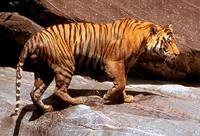 Les tigres de Bengale ne sont plus que 1400 individus ! Tigre_20