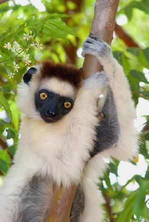Primates en péril !!! Verrea10