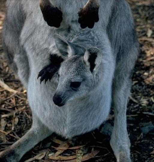 Le Kangourou Wallar10