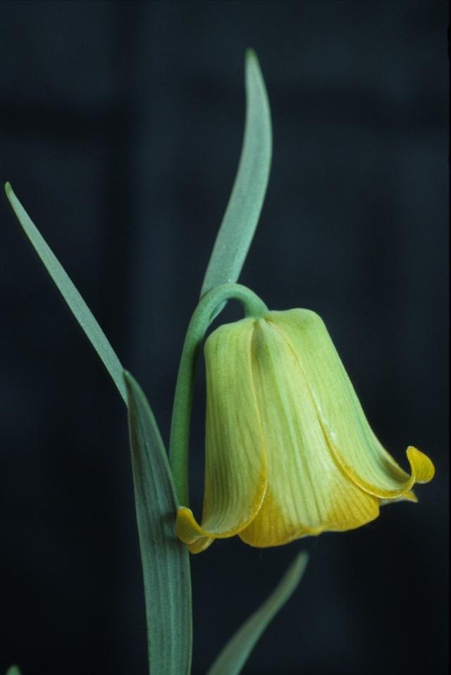 Fritillaria pyrenaica var.aurea : Devinette semaine 28 16070810