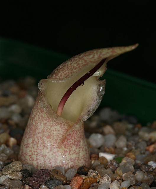 Devinette semaine 41 : Biarum davisii ssp. marmarisense Bd10